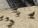 Australian Quail walk across the patio at Te Mahia